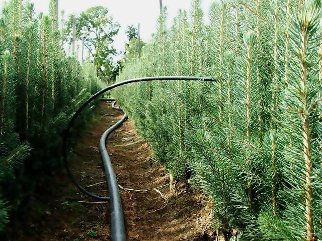 Fenyőfa termesztés
